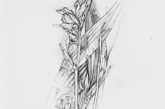 martensen-bleistiftzeichnung_crop
