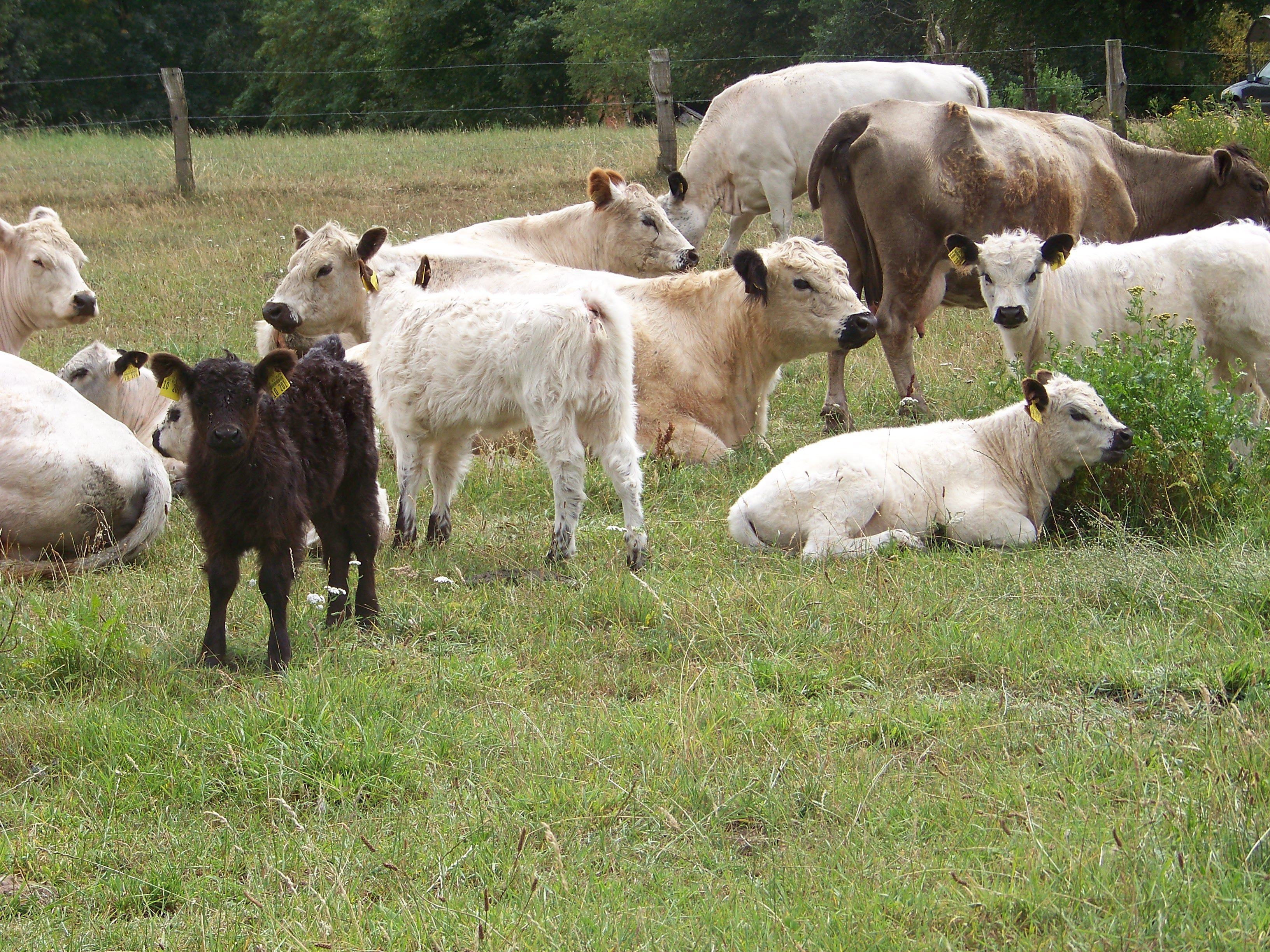 Flächenentwicklung mit Galloway-Rinder