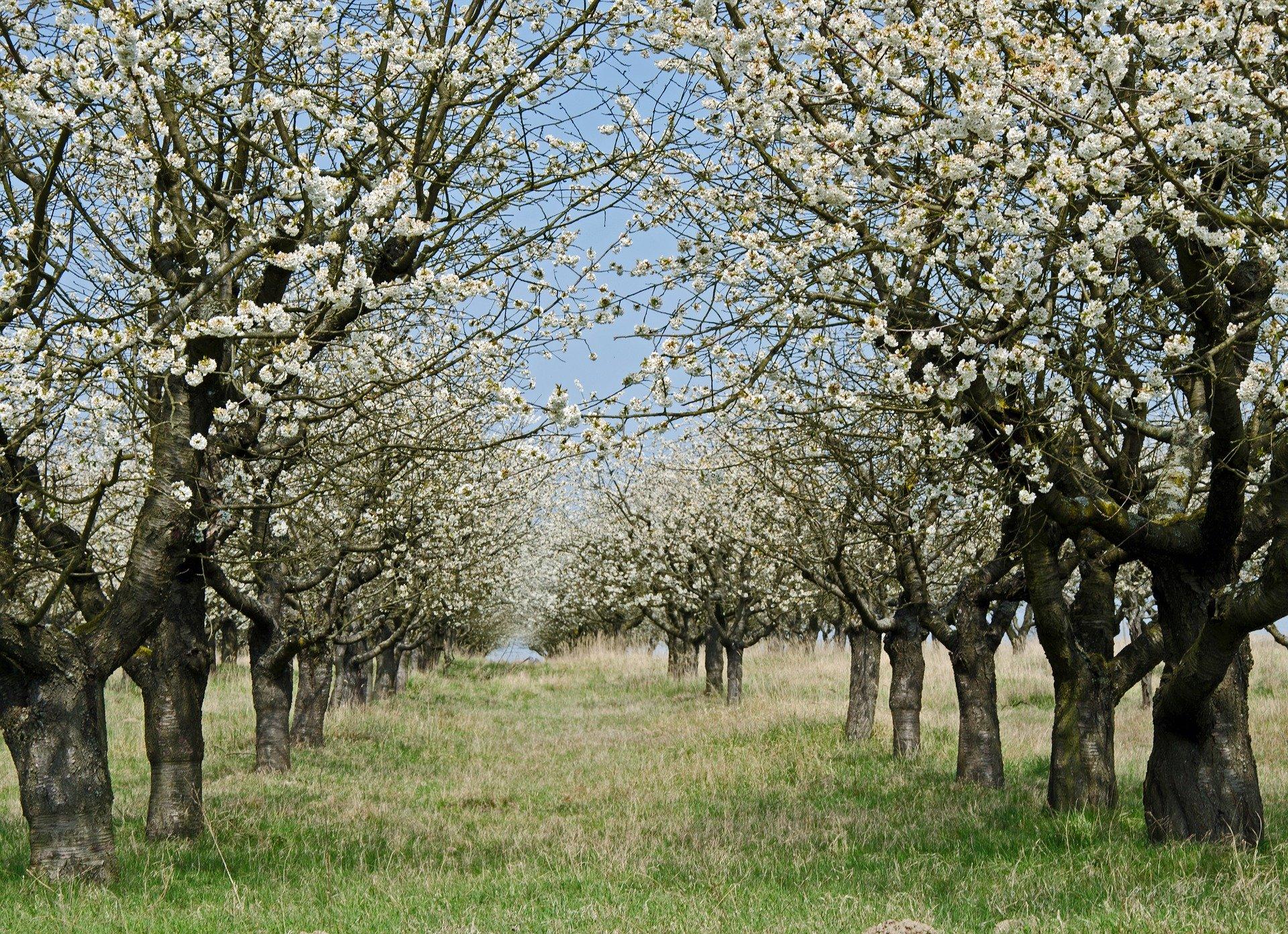 Obstbaumpflegeschnitt im Naturpark Aukrug
